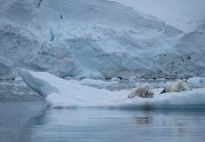 A Pair of Crabeater Seals. Resting on an iceberg floating in Paradise Cove, Antarctica. Their reflections are seen in the water Royalty Free Stock Images
