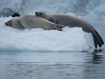 A Pair of Crabeater Seals Resting on an Iceberg. Close up of a pair of crabeater seals resting on an iceberg in the Southern Ocean in Antarctica. Both seals have Stock Photography