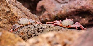Pair of crabs. A pair of crabs on the rocks near sea stock photos