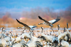 Pair of Cranes coming in for a landing at a crowded space Royalty Free Stock Photo