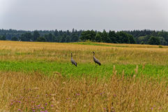 Pair of cranes in the field. Royalty Free Stock Images