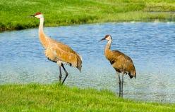 Pair of cranes Stock Image