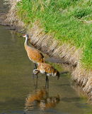 Pair of cranes. Two cranes standing together in a shallow creek. One is preening itself Stock Images