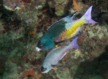 A Pair of Creole Wrasse Royalty Free Stock Photo