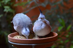 A pair of crested pigeons. Sitting on the bird feeder Stock Photography