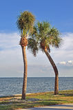 Pair of crooked palm trees Stock Photo