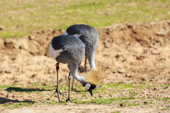 Pair of crowned cranes Stock Photos