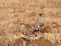 Pair of crowned plovers Stock Image
