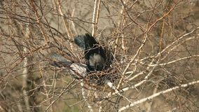 A pair of crows. Arrange their nests in the tree stock footage