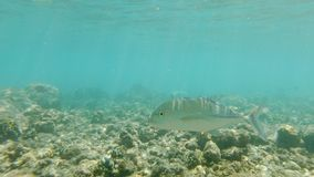 Pair Of Bluefin Trevally. A Pair Of Curious Bluefin Trevally, Caranx Melampygus, Passing By In Shallow Waters stock footage