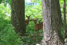 Curious Fawns Royalty Free Stock Images