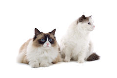 Pair of cute cats. Close up of pair of cute cats isolated on white background stock photography