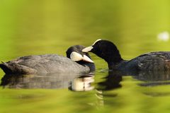Pair of cute common coots. Kissing on water surface Fulica atra stock photo