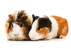 Pair of cute guinea pigs Royalty Free Stock Photo