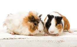 Pair of cute guinea pigs Stock Image