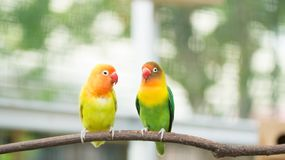 A pair of cute lovebird agapornis fischery. Perching on the branch royalty free stock photos
