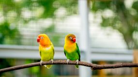 A pair of cute lovebird. Perching on the branch of a tree royalty free stock photography