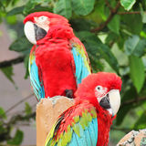 Pair cute macaw sitting on branch Stock Image