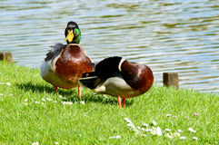 Pair of cute mallard ducks near pond. Pair of cute mallard ducks preening themselves and walking near pond with copy space over water Royalty Free Stock Images