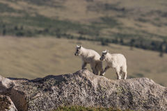 Pair of Cute Mountain Goat Kids Royalty Free Stock Image