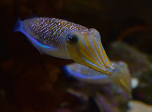 A pair of cute mourning cuttlefish stretching the arms with the second one in the background stock photography