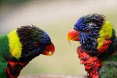 A pair of cute multi-colored parrots look at each other royalty free stock photo