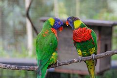 A pair of cute multi-colored parrots look at each other stock photos