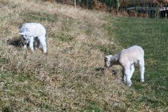 Pair of cute newborn little lambs on pasture, sunny day. Pair of cute newborn little lambs on pasture on a sunny day, spring is coming concept royalty free stock images