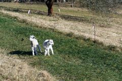 Pair of cute newborn little lambs on pasture, sunny day. Pair of cute newborn little lambs on pasture on a sunny day, spring is coming concept royalty free stock photography