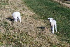 Pair of cute newborn little lambs on pasture, sunny day. Pair of cute newborn little lambs on pasture on a sunny day, spring is coming concept royalty free stock image