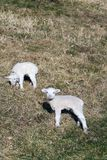 Pair of cute newborn little lambs on pasture, sunny day. Pair of cute newborn little lambs on pasture on a sunny day, spring is coming concept stock photography