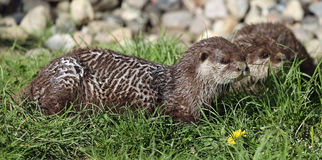 Pair of cute Oriental small-clawed otter Stock Photos