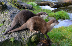 Pair of cute Otters sitting together near water royalty free stock photography