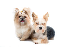 Pair cute small dogs stock photos