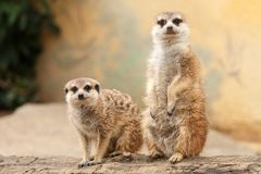 Two meerkats on a log with light blurred background royalty free stock photo