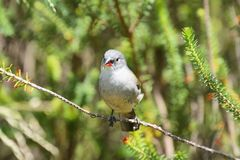 Pair of cute Swee Waxbill finches perch on a branch Royalty Free Stock Images