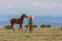 Pair of Cute Wild Horse Foals in the Desert Stock Photo