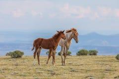 Pair of Cute Wild Horse Foals Stock Photo