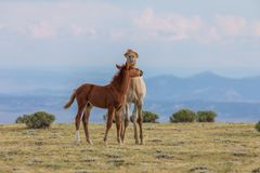 Pair of Cute Wild Horse Foals in Summer Royalty Free Stock Photos