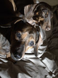 Pair of dachshunds  Royalty Free Stock Photography