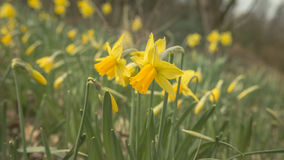 Pair Of Daffodil royalty free stock photos
