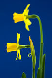 Pair of Daffodils on Blue Background Royalty Free Stock Photo