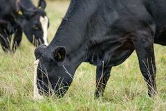Pair of dairy cows seen eating grass in an English pasture. stock photos