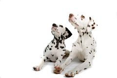 Pair of dalmatians Royalty Free Stock Photo