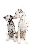 Pair of Dalmatians Stock Photo