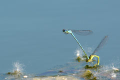 A pair of damsel flies Stock Image