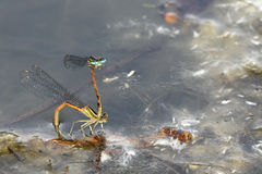 A pair of damsel flies Stock Photo