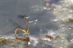 A pair of damsel flies Stock Photo