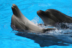 Pair dances of dolphins. royalty free stock photos