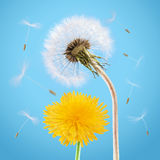 Pair of Dandelions. Yellow and overblown dandelion on the blue sky Stock Image